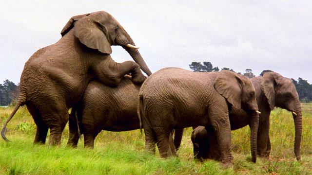 Los elefantes también se relacionan